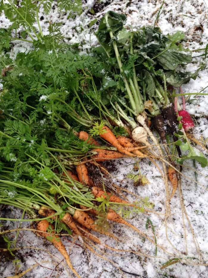 Winter root crops harvested in a winter garden