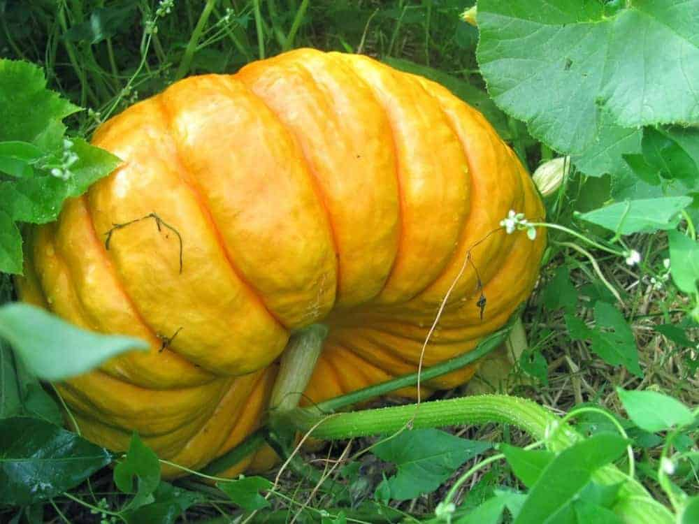 Heirloom Cinderella Pumpkin: Rough Vif D'etamps