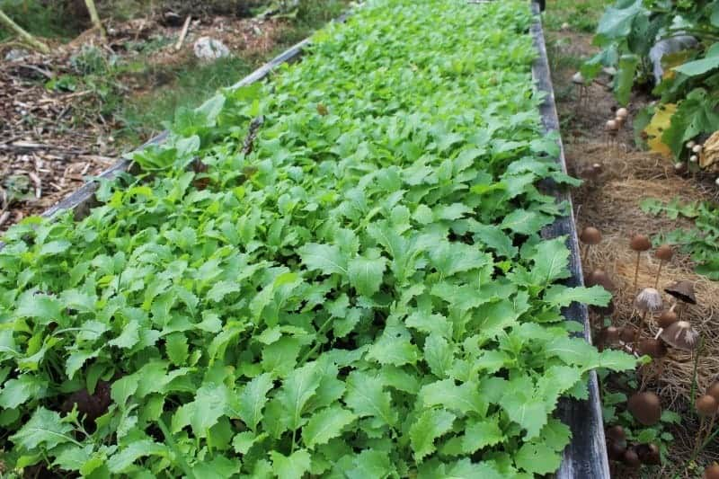 Growing mustard greens cover crops