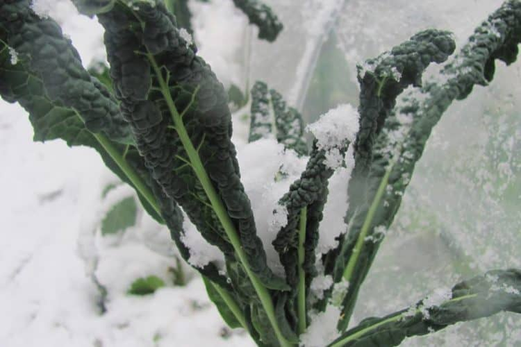 Crops that can Handle Frosts & Snow