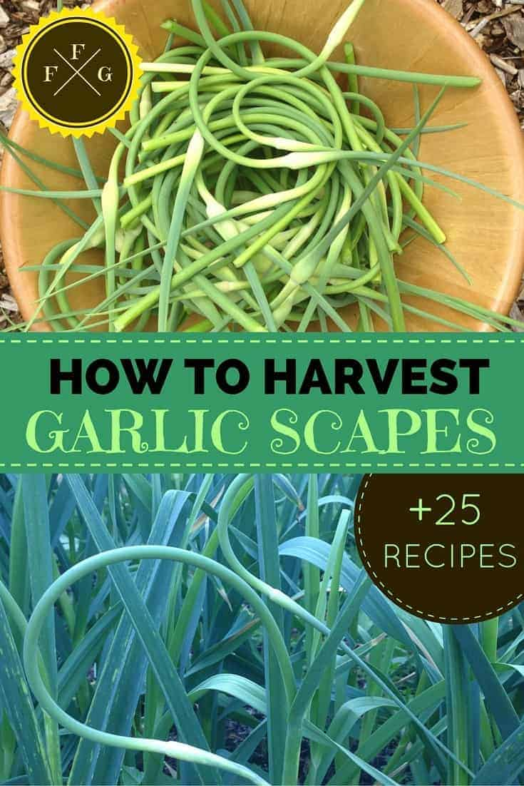 25 Garlic Scape Recipes + How to Harvest them