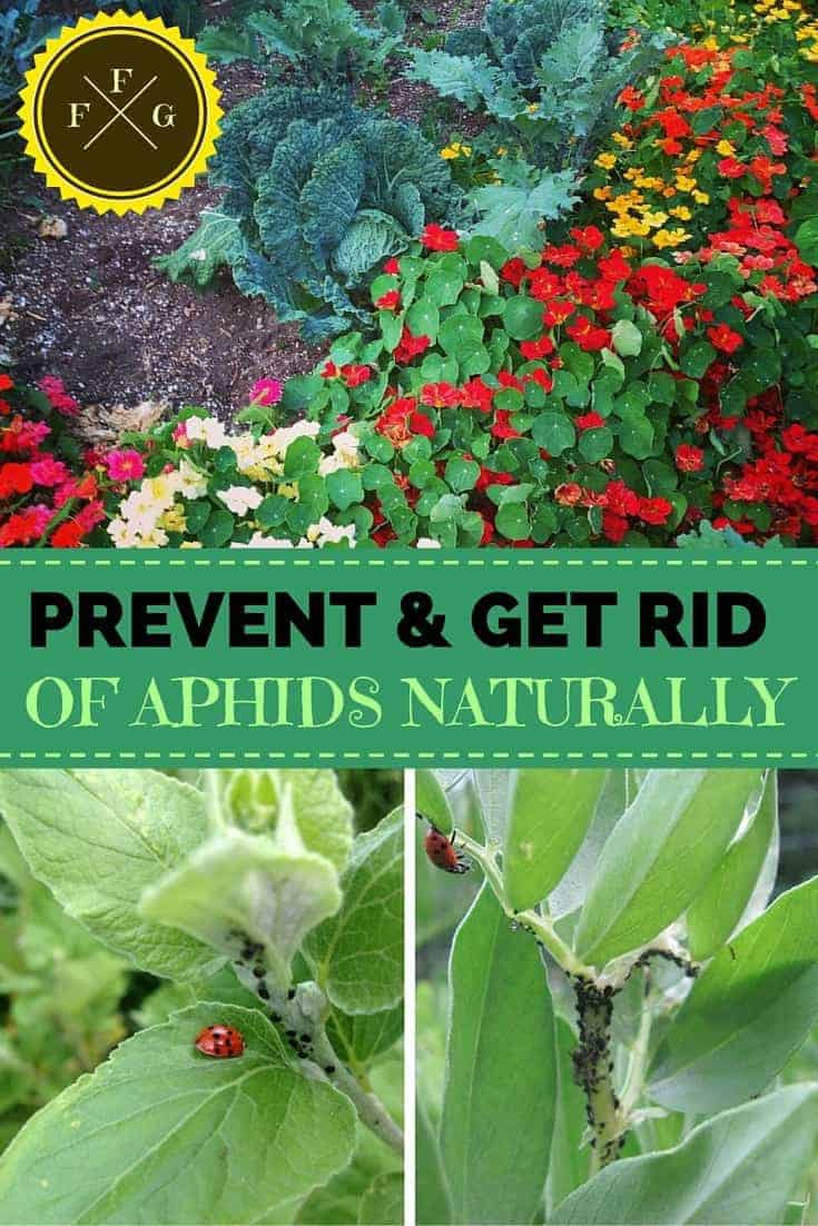 How To Prevent Amp Get Rid Of Aphids Companion Planting