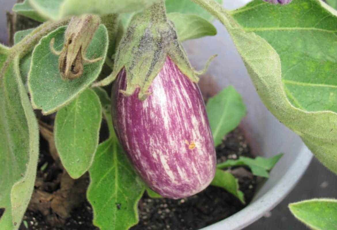 20+ Fruits & Vegetables you can Grow in Containers