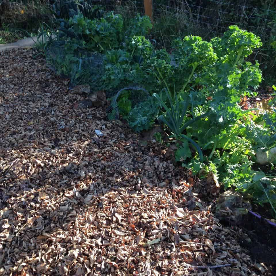 fall kale and leaves added to the garden