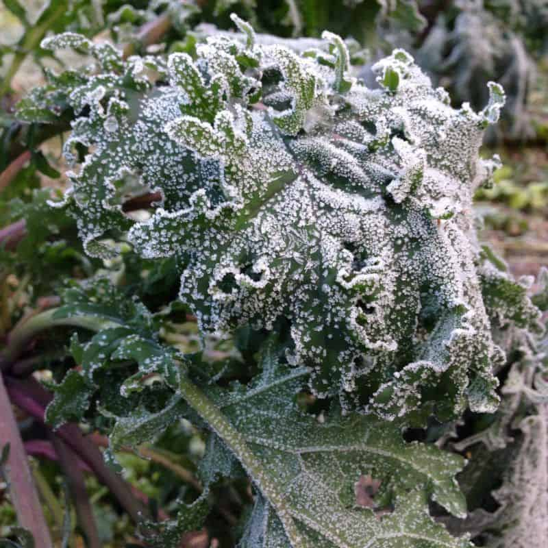 Frosted 'Red Russian' Kale in a fall garden