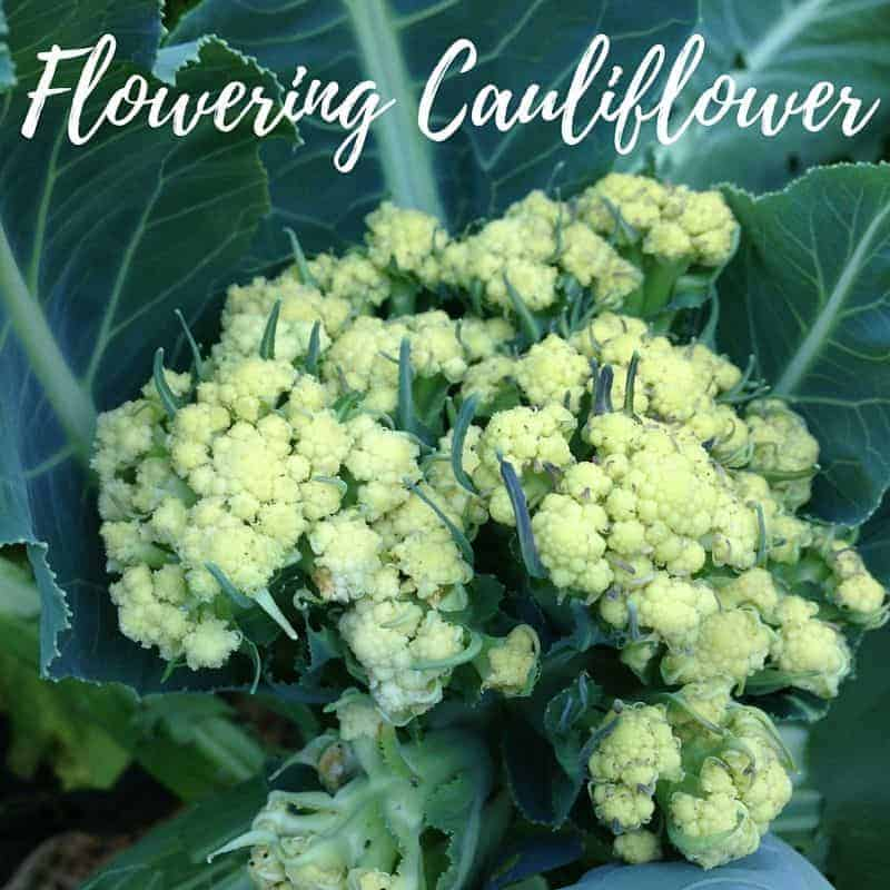 What should you do with a flowering cauliflower? Pull it up & sow some fast growing crops!