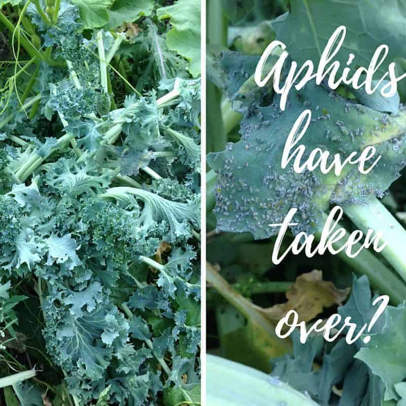 Aphid infestation? If it's really bad you're better pulling up the plants and sowing something else