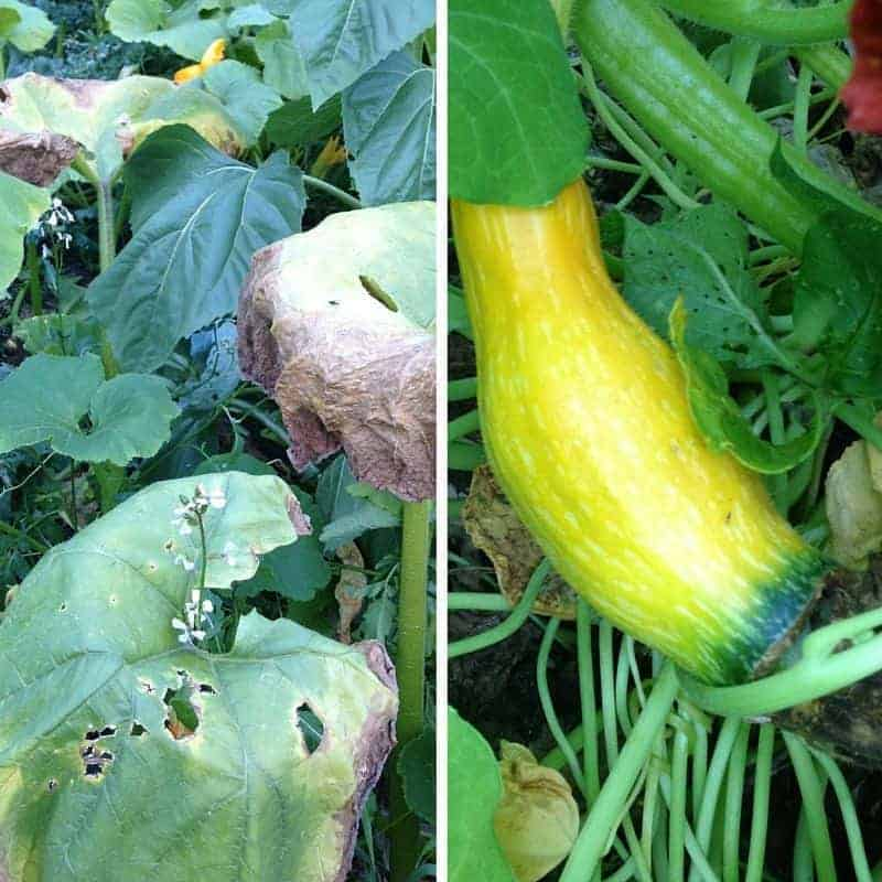 Yellowing leaves or rogue squash: pull up the plants and sow something new