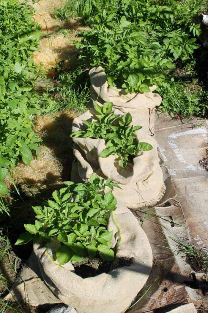 How to grow potatoes in burlap bags