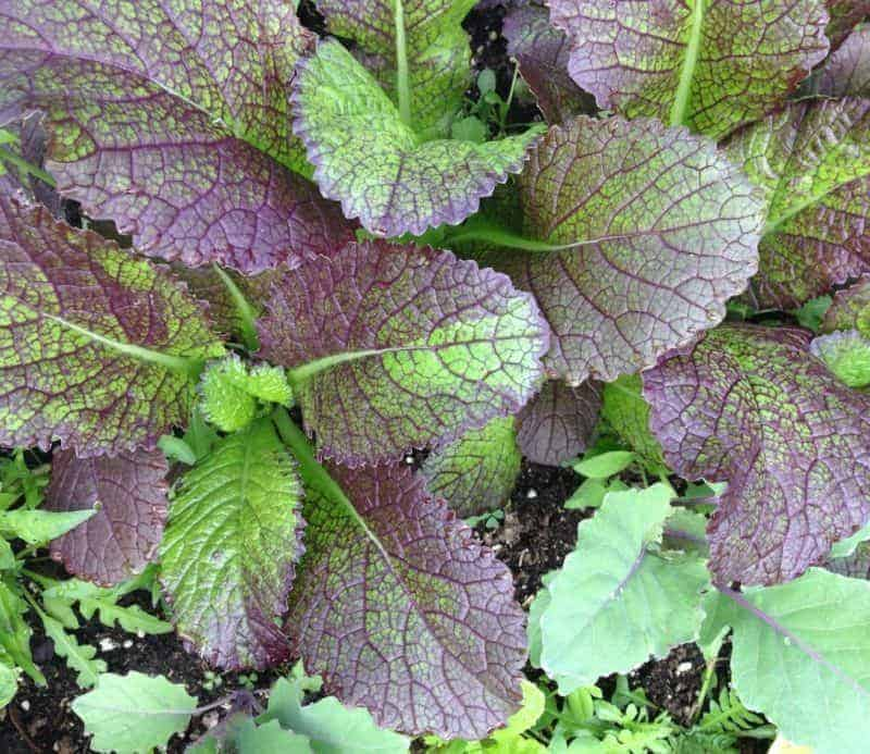 "Giant red mustard"" Best crops for overwintering in zone 5"