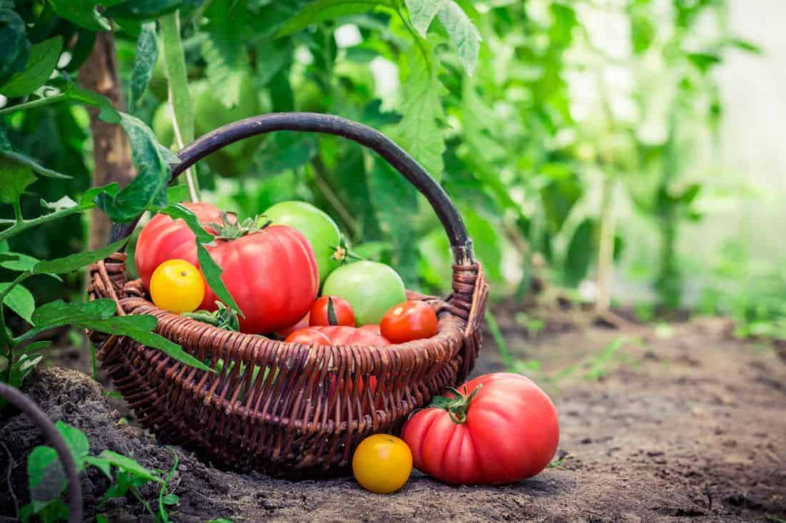 Tomatoes 101: Growing to Preserving