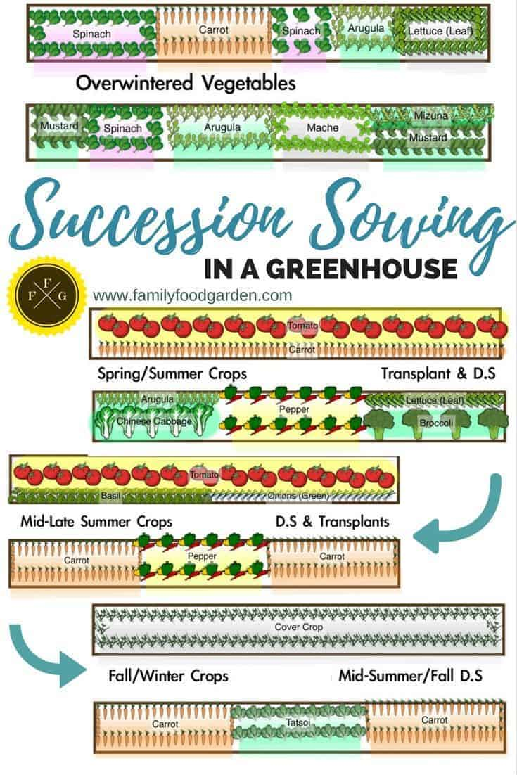 Vegetable Gardening: Succession Sowing Example in a Greenhouse