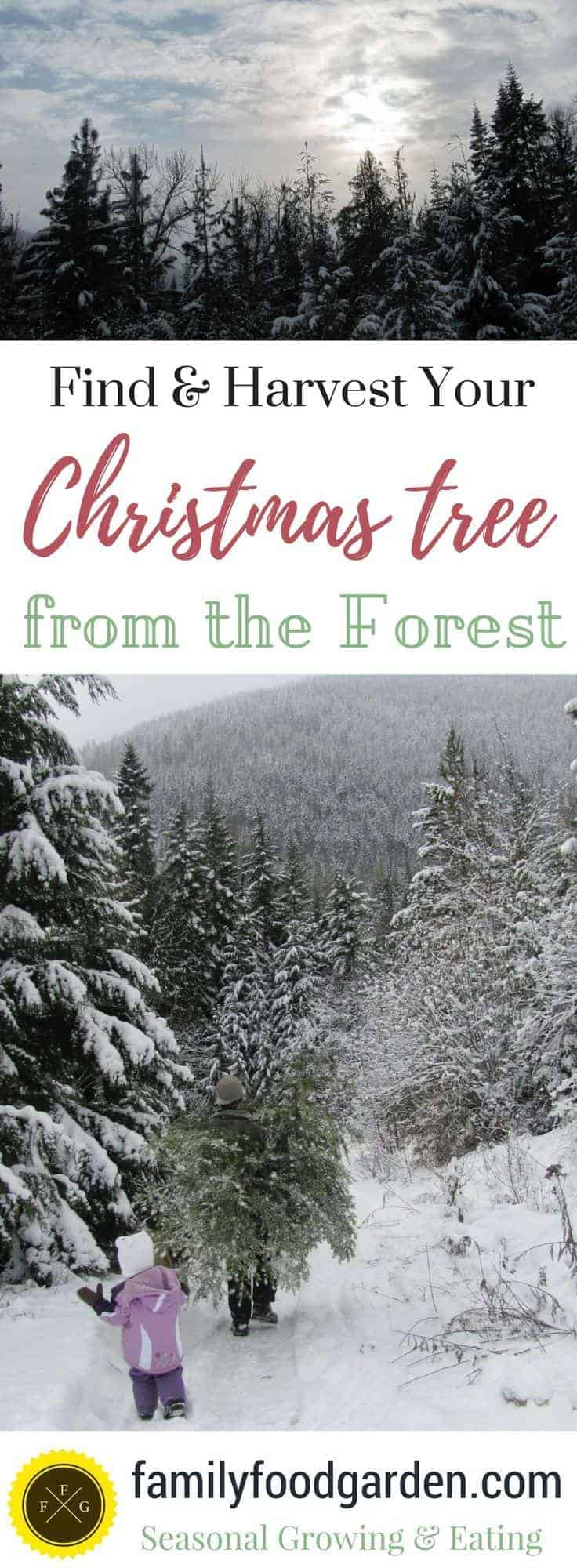Tips for finding your Christmas tree from the forest