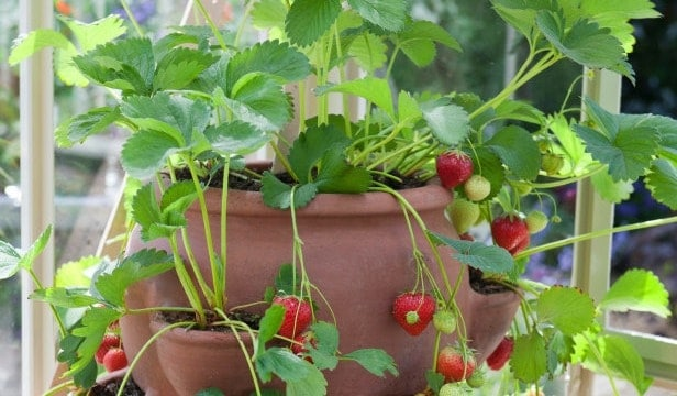 Great Ways to Grow Strawberries