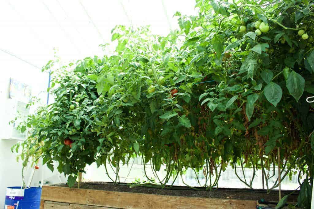 The Best DIY Tomato Trellis & Cages