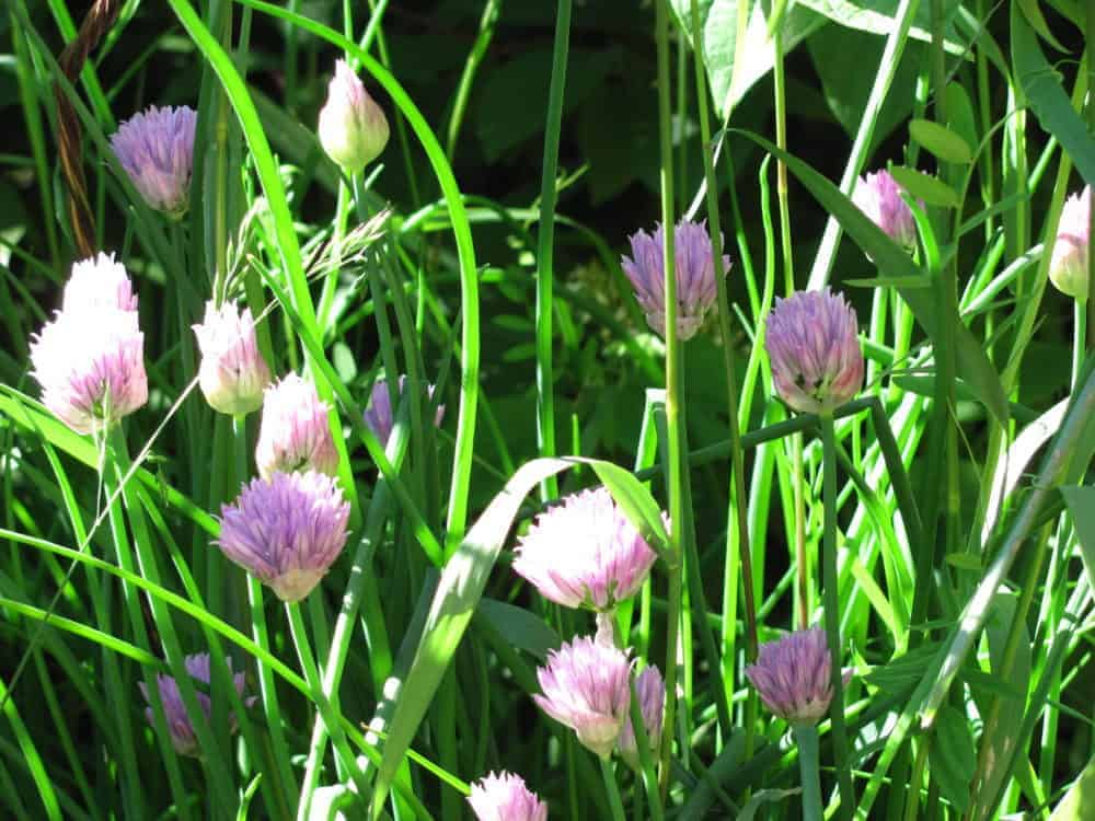 Using herbs for companion planting