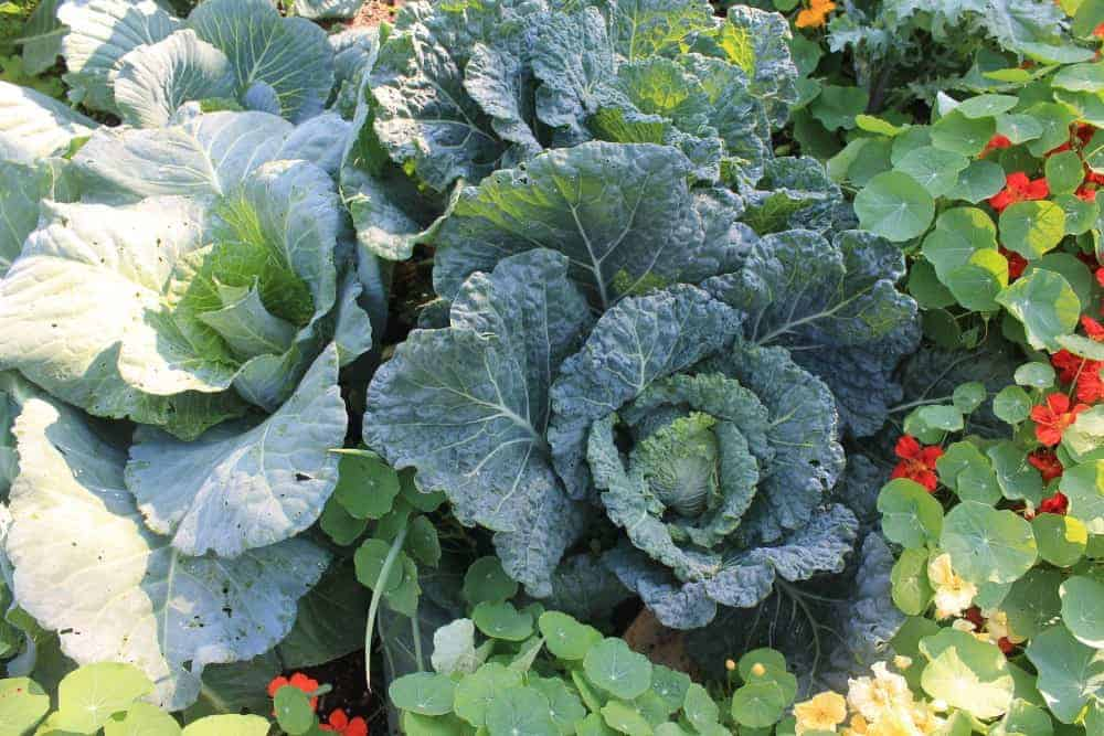 Companion planting with cabbage & nasturtiums