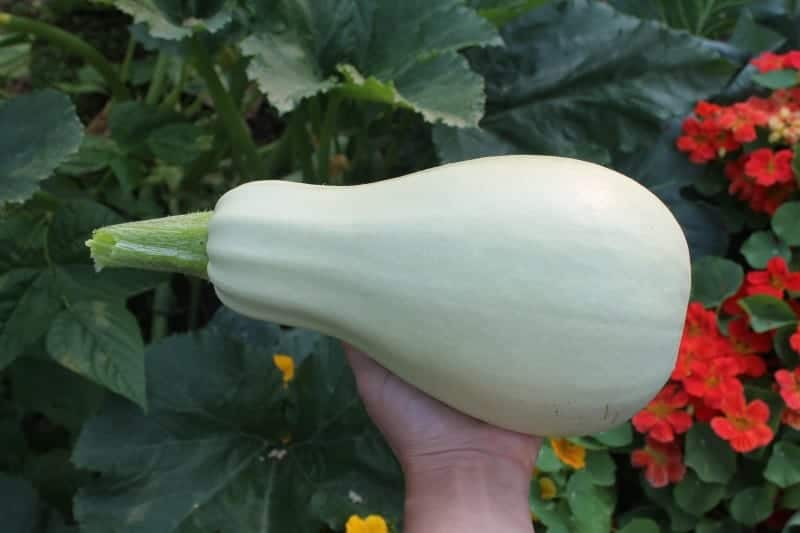 White Marrow Summer Squash