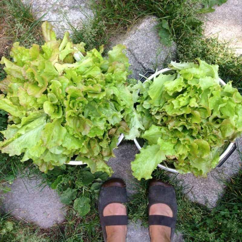 How to Triple your Harvest of Fresh Greens