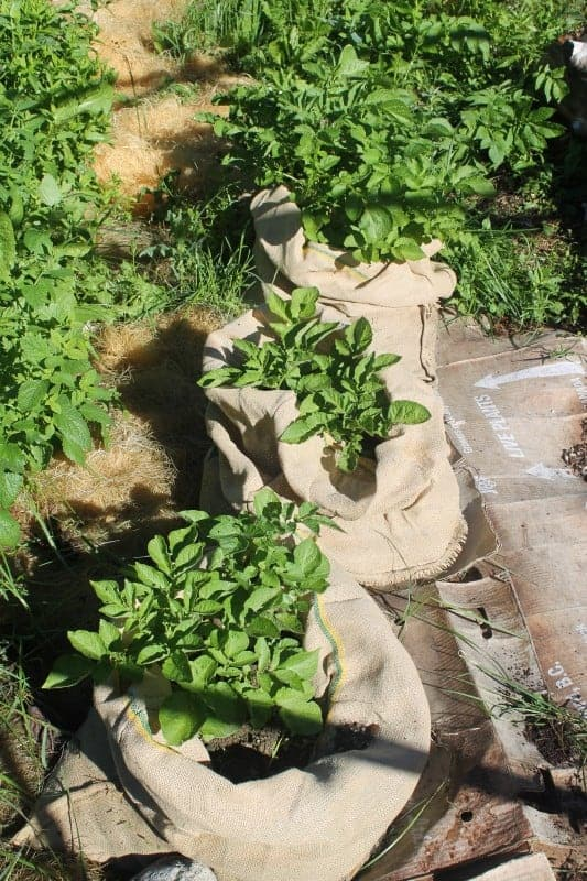Growing potatoes in burlap bags