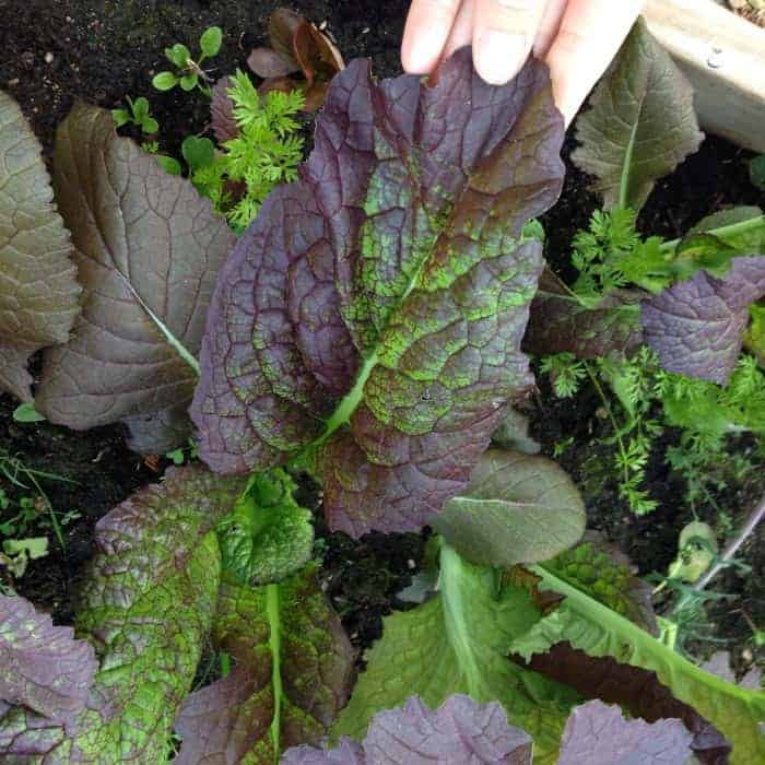 how to grow mustard greens at home