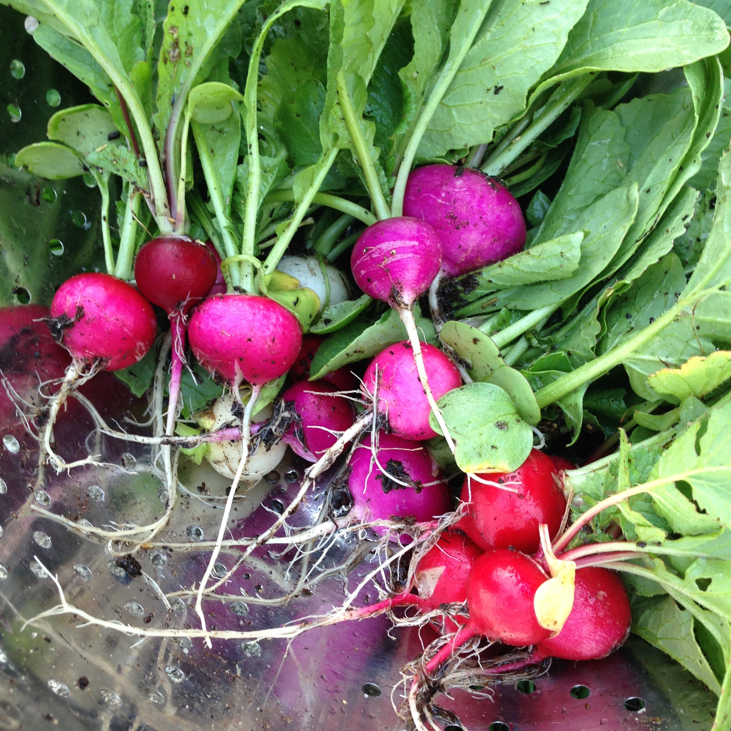 How to Grow Radishes + Radish Recipes