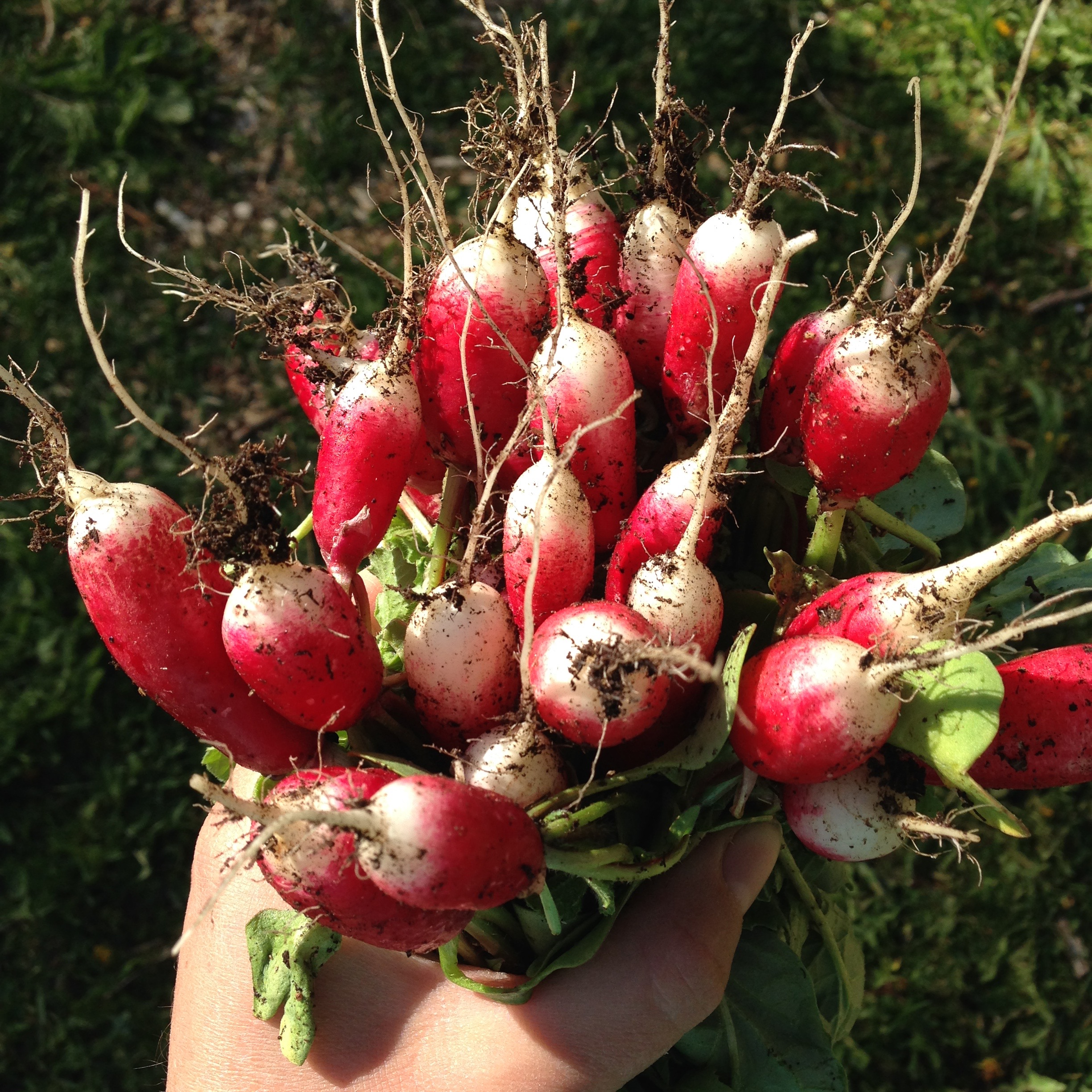 French Breakfast Radishes- How to grow + radish recipes