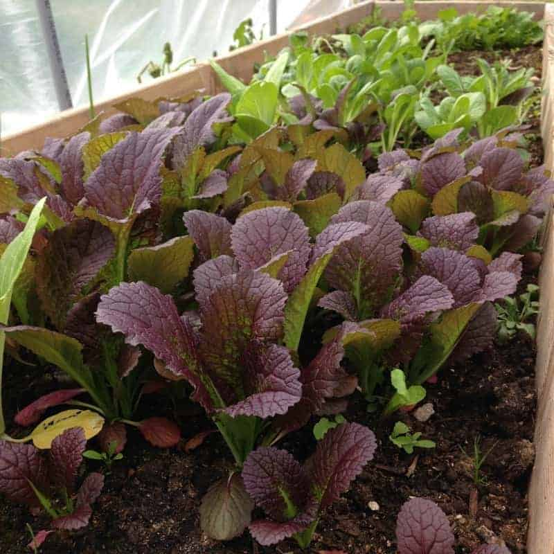 Pre-and post crops of fast growing veggies before your main harvest crops