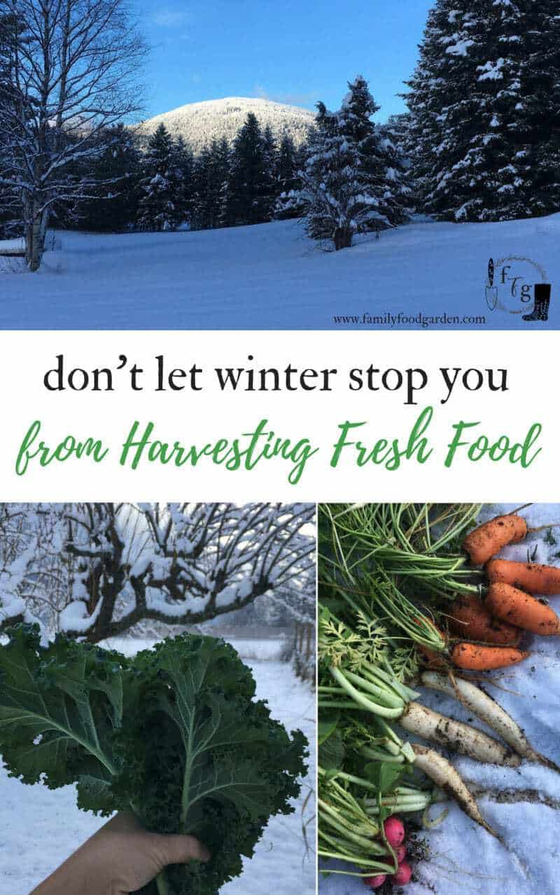 Winter harvests using unheated season extenders