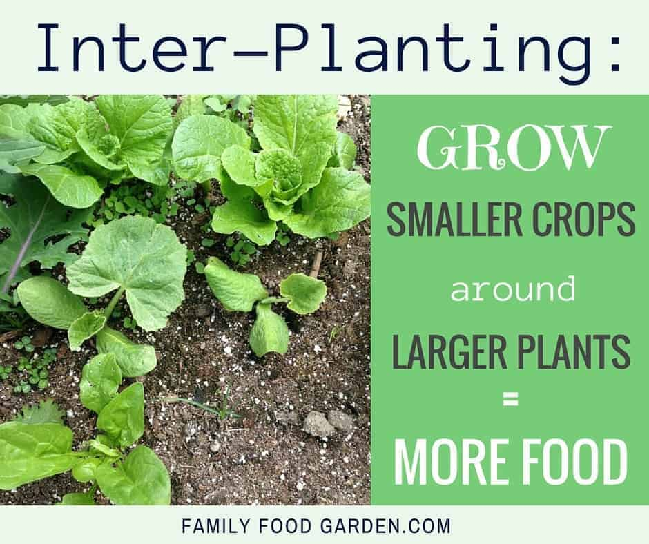 Inter-planting is a great way to get more harvests from your garden
