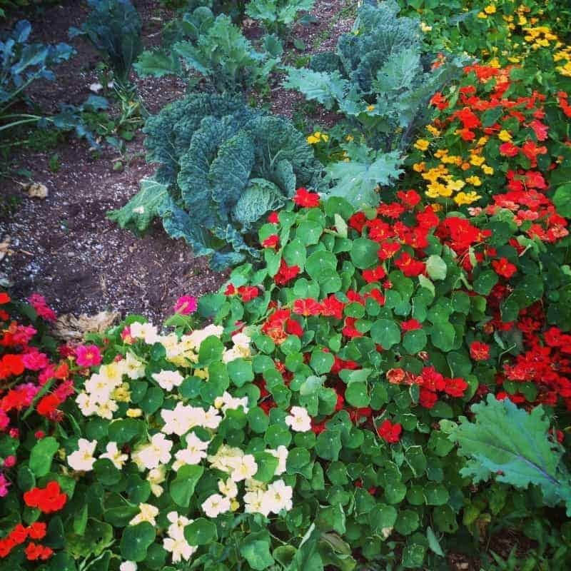 Edible flower border in a veggie garden