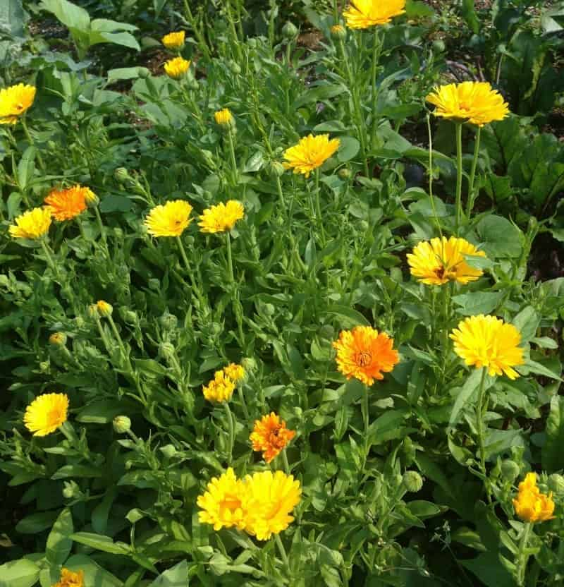 Calendula flowers are wonderful for companion planting