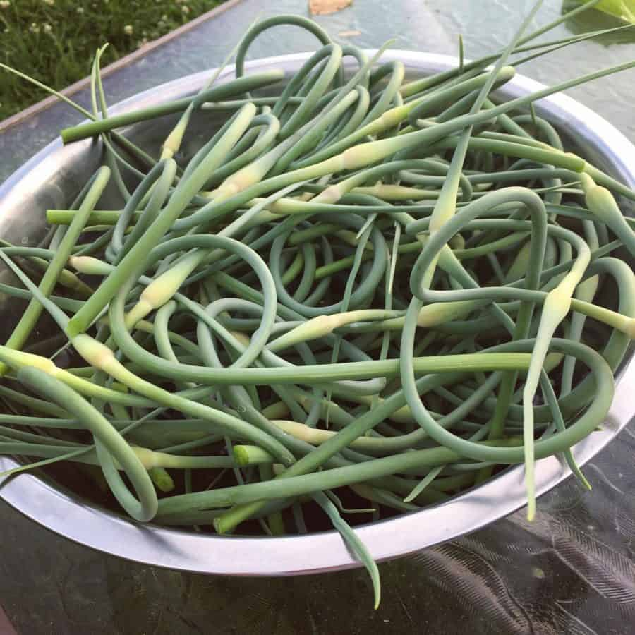 Garlic scape recipes