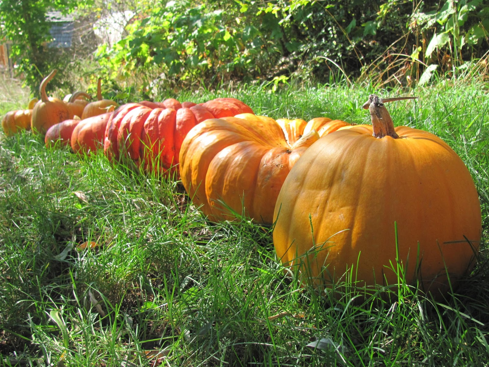 Growing pumpkins for kids Halloween