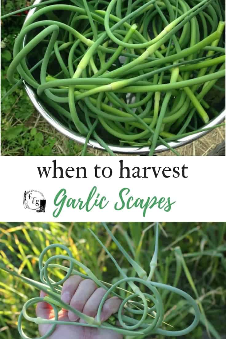 When to harvest garlic scapes and recipes