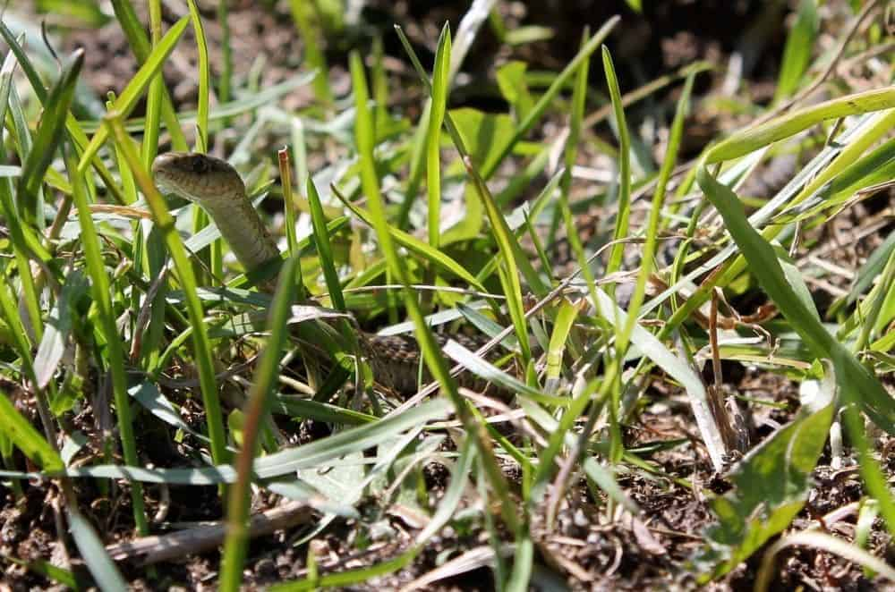 Allow snakes in your garden for natural pest control
