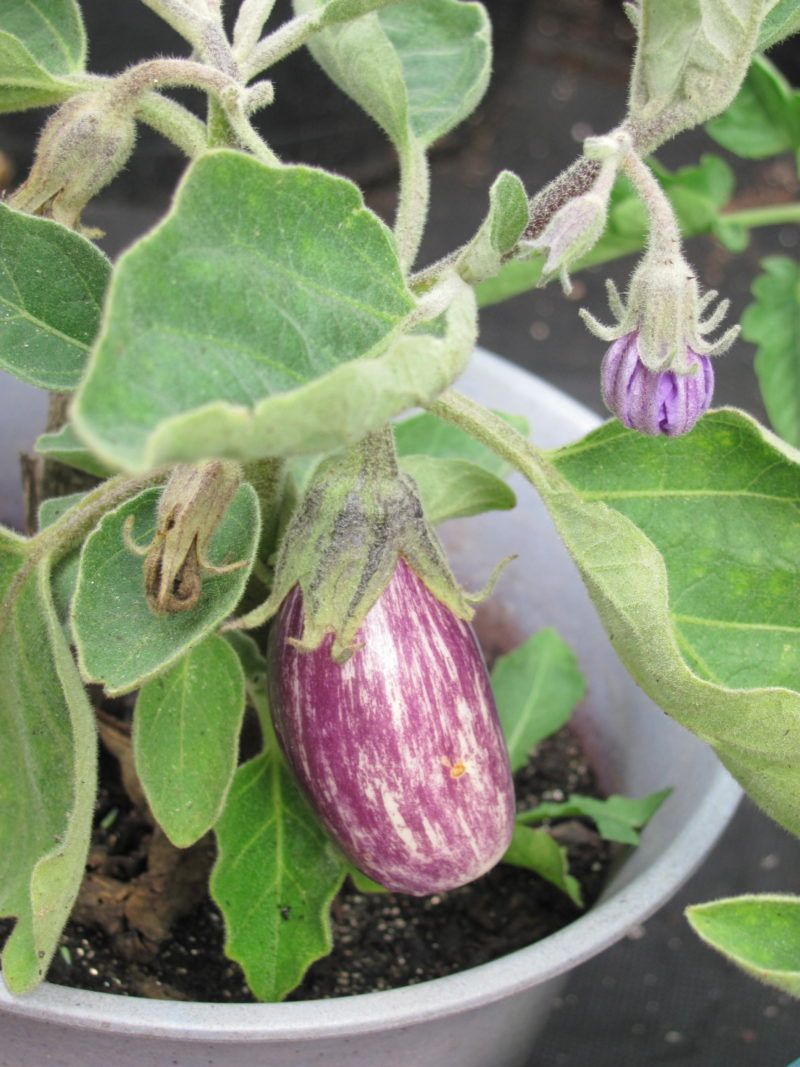 'Fairytale Eggplant' grown in a container