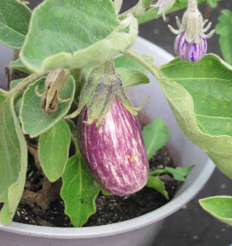 Fairytale Eggplant- a beautiful purple vegetable to grow in containers
