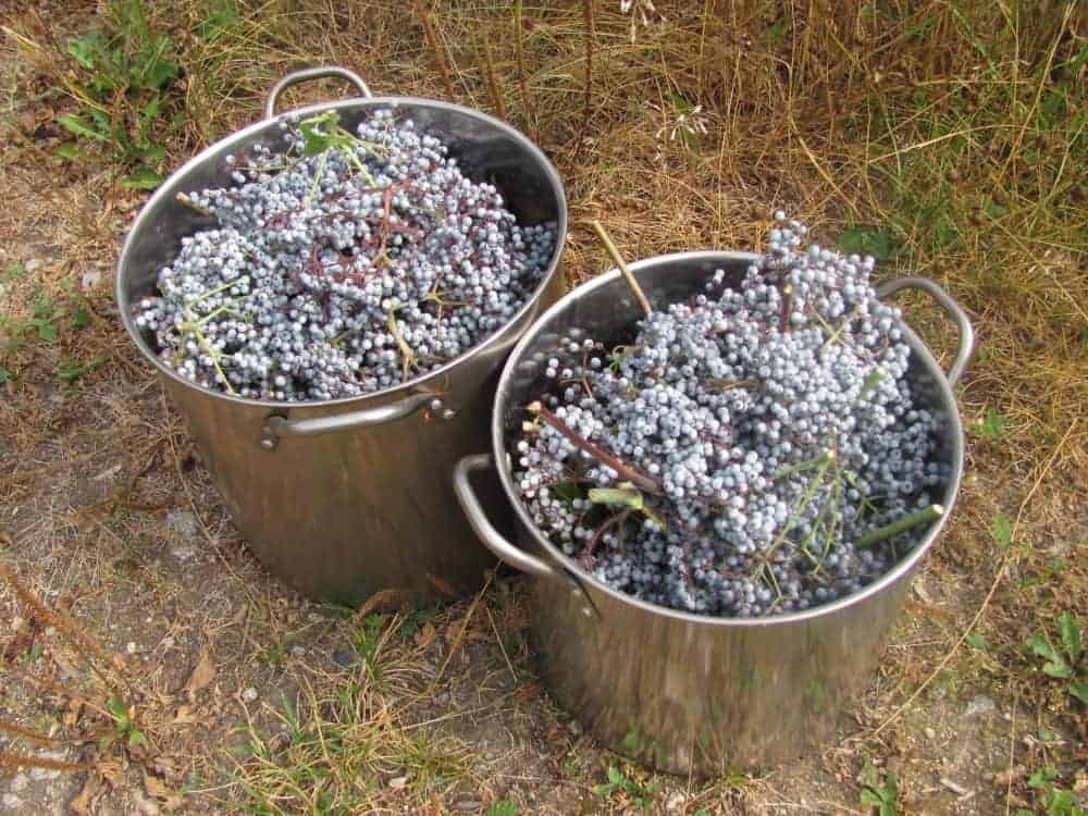 Elderberry varieties