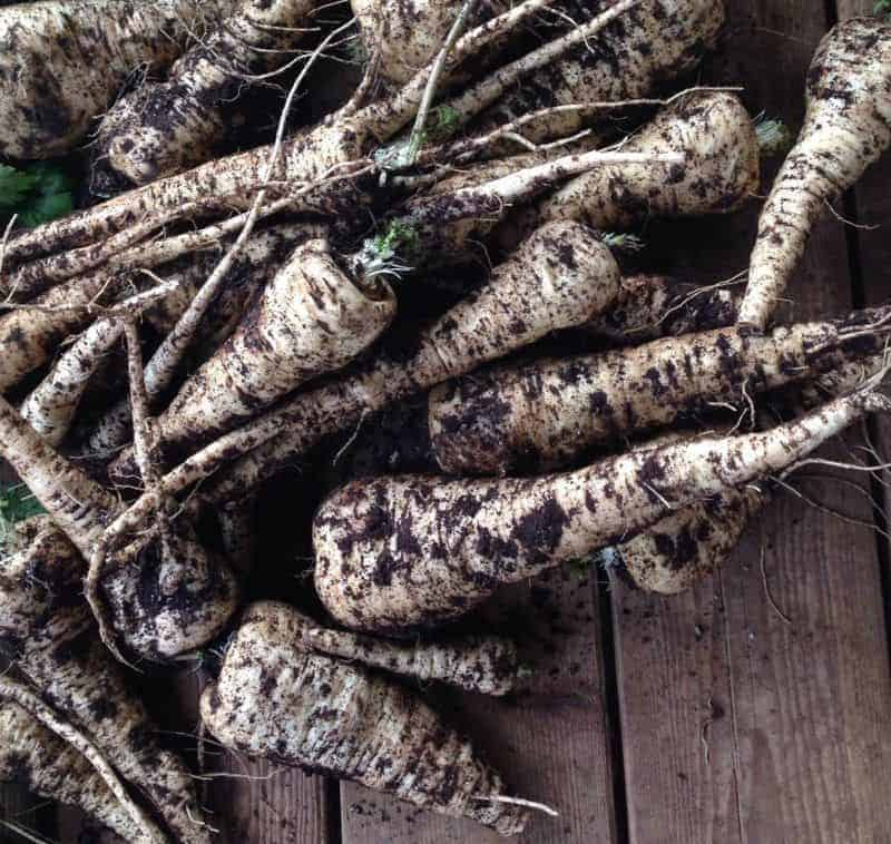 Parsnips: overwintering crops for zone 5