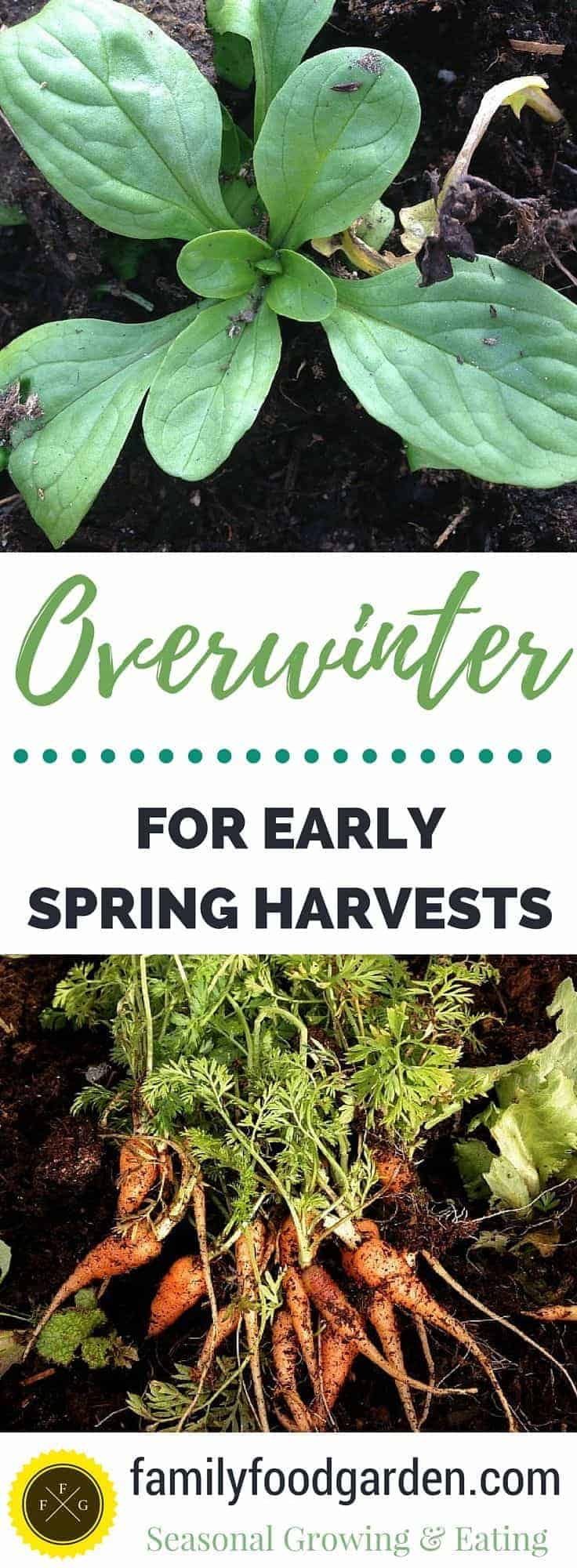 Plan for early spring harvests! Great list of crops to overwinter for zone 5.