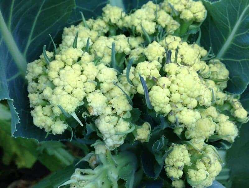 Cauliflower bolting