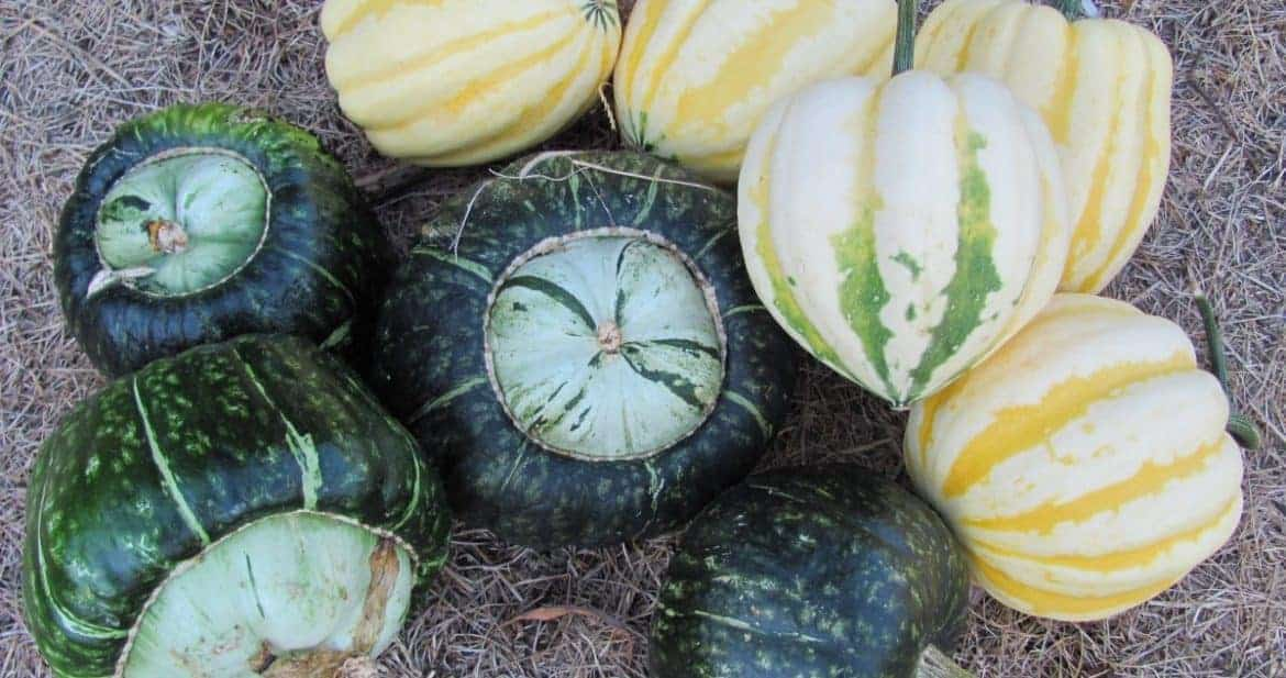 Harvest, Cure & Store Winter Squash & Pumpkins
