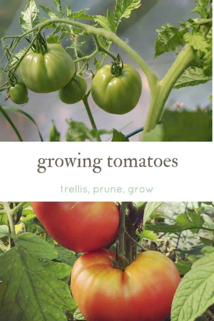 Growing tomatoes- your guide to how to prune, trellis, grow and preserve