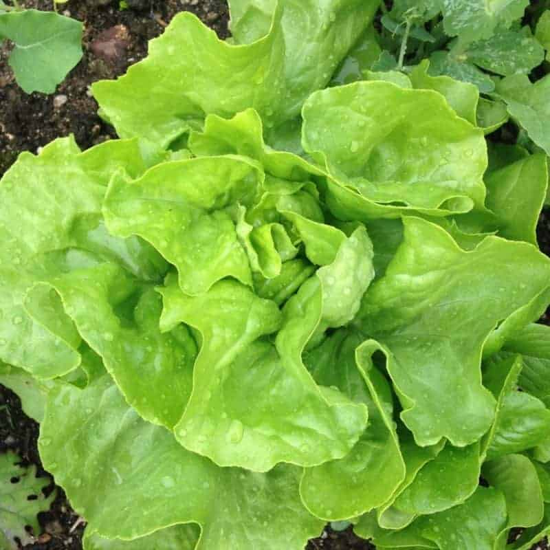 Winter Density lettuce overwintered for an early spring harvest