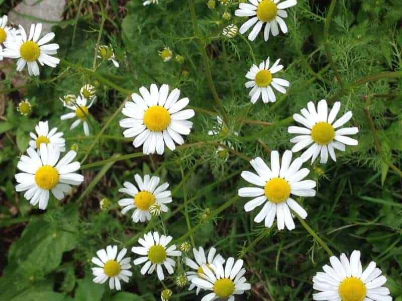 Chamomille for Companion Planting