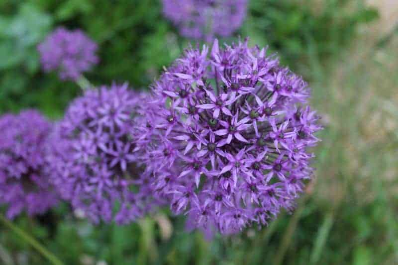 Allium flowers for companion planting