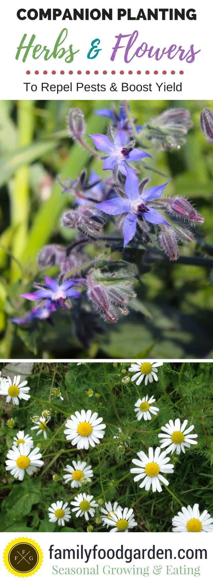 Companion Planting Herbs & Flowers Examples
