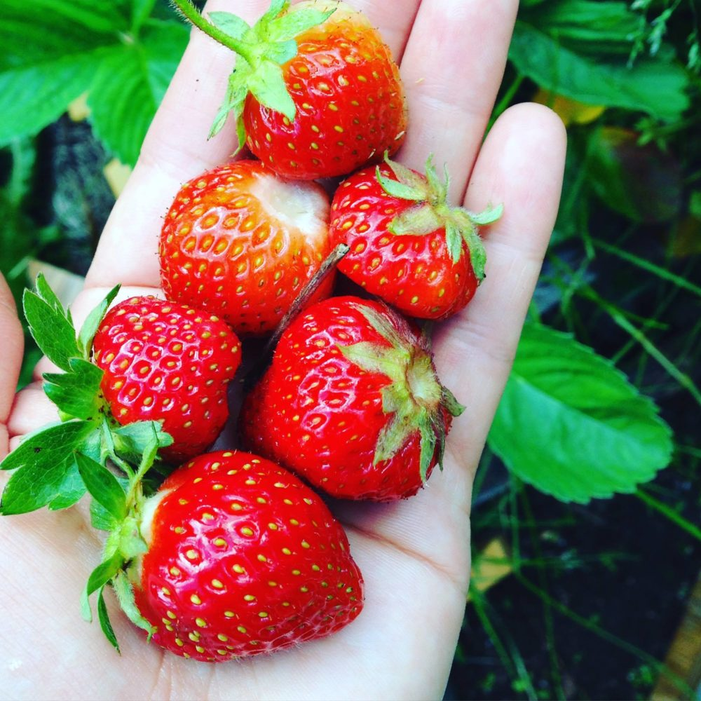Strawberry In Container Growing: Best Ways To Grow Strawberries In Containers