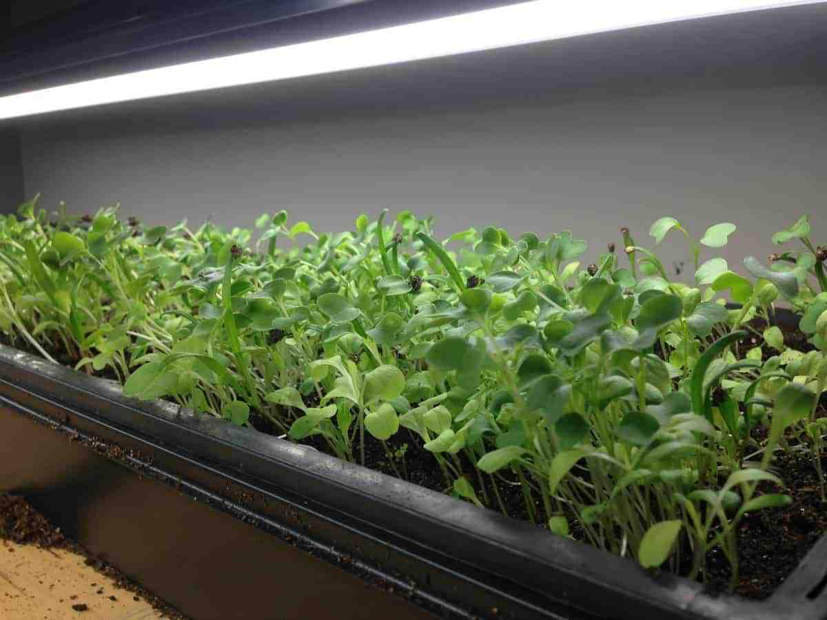 Microgreens The Perfect Indoor Gardening Superfood